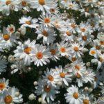 Argyranthemum Centenary Daisy - Perennial Plant