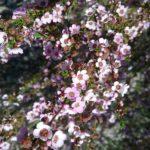 Astartea Winter Pink - Australian Native Plant
