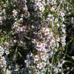 Astartea heteranthera - Australian Native Plant