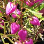 Boronia heterophylla Pixie - Australian Native Plant