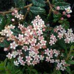 Commersonia hermanniifolia - Australian Native Plant