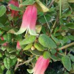 Correa reflexa Clearview Giant - Australian Native Plant