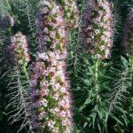 Echium candicans pink - Perennial Plant