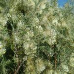 Grevillea triloba - Australian Native Plant