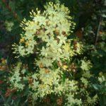 Phebalium squamulosum - Australian Native Plant