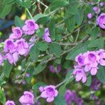 Prostanthera ovalifolia - Australian Native Plant