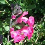 Salvia Strawberry Crush - Perennial Plant