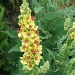 Verbascum nigrum - Perennial Plant