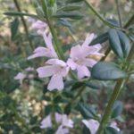 Westringia Poorinda Parvane - Australian Native Plant