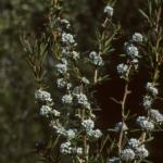 Taxandria linearifolia - Australian Native Plant