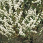Taxandria parviceps -n Australian Native Plant