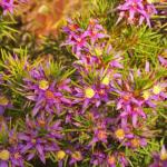 Calytrix depressa - Australian Native Plant