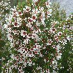 Chamelaucium floriferum - Australian Native Plant