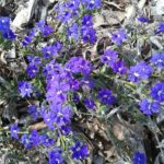 Dampiera stenophylla _ australian Native Plant