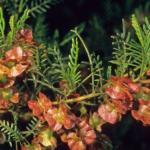 Dodonaea sinuolata - Australian Native Plant