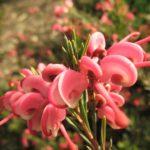 Grevillea rosmarinifolia - Australian Native Plant
