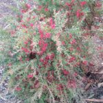 Grevillea Red Clusters - Australian Native Plant