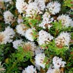 Grevillea crithmifolia - Australian Native Plant