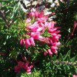 Grevillea Nancy Otzen - Australian Native Plant