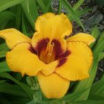 hemerocallis Now and Zen - Perennial Plant