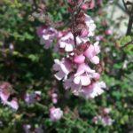 prostanthera melissifolia pink - Australian Native Plant