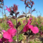 Salvia raspberry Royal - Perennial Plant