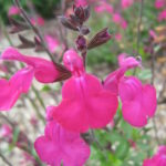 Salvia Pink Blush - Perennial Plant