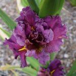 Iris Louisianna