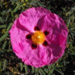 Cistus Brilliancy - Perennial Plant