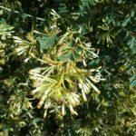 Grevillea amplexans - Australian Native Plant