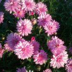 Argyranthemum Musk - Perennial Plant