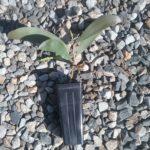 Acacia longispicata - Australian Native Plant