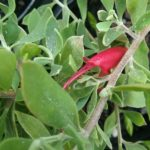Eremophila Red Desert - Australian Native Plant