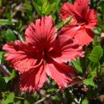 Hibiscus Andersonii