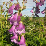 Penstemon Alice Hindley - Perennial Plant