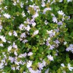 Scaevola Mauve Clusters - Australian Native Plant