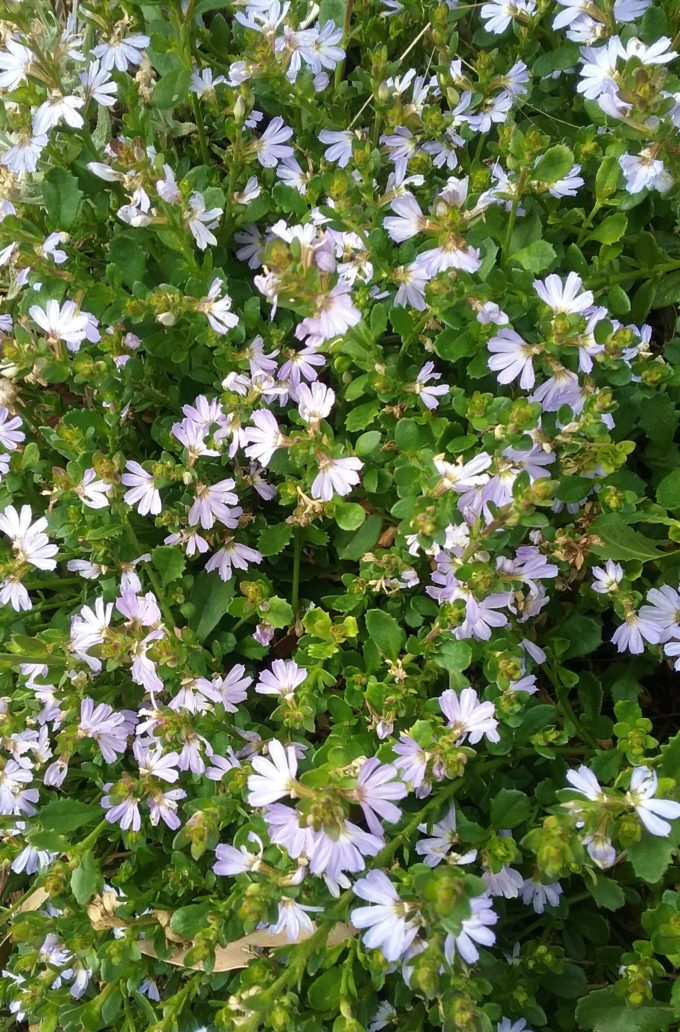 Myrtle Perennial Ground Cover: Scaevola Mauve Clusters In 75mm Supergro Tube
