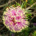 Melaleuca psammophila - Australian Native Plant
