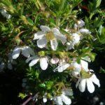 Bauera rubioides white - Australian Native Plant