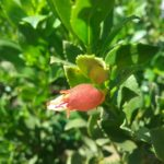 Eremophila denticulata - Australian Native Plant