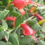 Eremophila glabra prostrate burgundy - Australian Native Plant