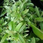 Grevillea linearifolia compact - Australian Native Plant
