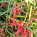 Grevillea nudiflora upright form - Australian Native Plant