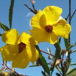 Hibiscus divaricatus - Australian Native Plant
