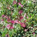 Eremophila purpurascens - Australian Native Plant