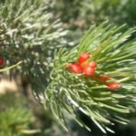 Adenanthos sericeus compact form - Astralian Native Plant