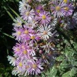 Aster viminalis Rosea - Perennial Plant