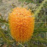 Banksia ashbyi dwarf - Australian Native Plant