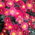 Chrysanthemum Bunninyong Bronze - Perennial Plant
