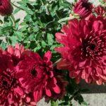 Chrysanthemum Monza Red - Perennial Plant